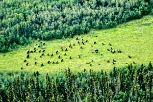 Bison from the Air